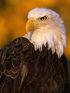 Beautiful Bald Eagle