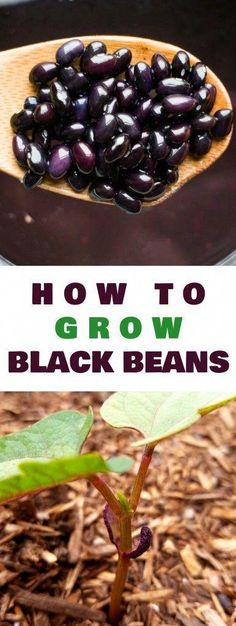 How to grow black bean plants from seeds in your vegetable garden. Looking for a new plant to grow in your garden this year? Try growing black beans! They\'re easy to grow, produce a good yield and store great for recipes! #howtogrowagarden