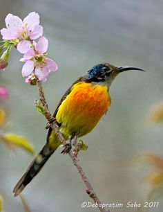 From National Geographic.com  Green-tailed sunbirds are found in Bangladesh, Bhutan, China, India, Laos, Myanmar, Nepal, Thailand, and Vietnam, preferring temperate forests and subtropical or tropical moist montane forests. (Debapratim Saha)