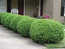 Wintergreen Boxwood - 4-6' tall x 2-4' wide, Zone 5-9.  Responds well to shearing, excellent low hedge plant to provide year round color.