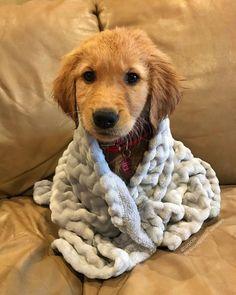 Golden Puppy Golden retriever puppy - Does my dog know I love him? Retriever Puppy, Dogs Golden Retriever, Funny Golden Retrievers, Cute Dogs And Puppies, I Love Dogs, Doggies, Lab Puppies, Greyhound Puppies, Tiny Puppies