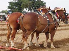 suffolk punch draft horses | Team of Suffolk Punch