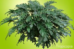 Large, Green, lobed Philodendron Xanadu.