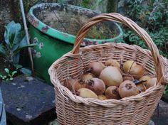 Le Lot-et-Garonne premier producteur de kiwi en France...