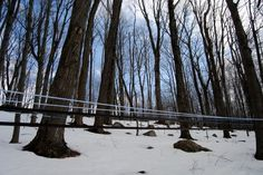 Maple sugaring season commences this time in Connecticut. Sap generally starts to flow when the daytime temperature is above freezing & night is still below; Today is perfect having a daytime high of 44 °F & expected low tonight of 27 °F.