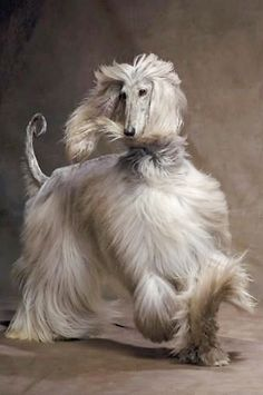 Beautiful gray Afghan Hound strutting her stuff. Pet Dogs, Dogs And Puppies, Dog Cat, Pets, Doggies, Photo Animaliere, Hound Dog, Afghan Hound Puppy, Cute Kittens