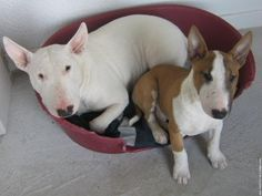 Looks sooooo much like my Sadie and her puppy Jake...... only missing Sadie's tan eye patch.  Bull Terriers are great pets.