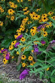 black eyed susan and butterfly bush