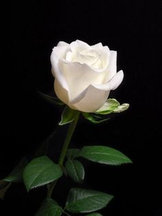 ❤️A white Rose. So pure, so beautiful. The white roses are my absolute favorite. Roses bloom in incredible colors. But how simple, how amazing is the white rose! Perfection. I ❤️ white roses.