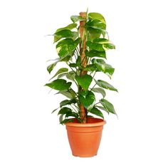 """""""Scindapsus"""" One of the most common Indoor plant for indoor, also knowna as Mone. """"Scindapsus"""" One of the most common Indoor plant for indoor, also knowna as Money plant is a vigorous climber, it ha Ornamental Plants, Foliage Plants, Bonsai, Popular House Plants, Indoor Plants Low Light, Indoor Plants India, Lucky Bamboo Plants, Lucky Plant, Moss Plant"""