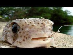 Tetraodontidae is a family of primarily marine and estuarine fish of the order Tetraodontiformes. Balloon Fish, Wild Life, Youtube, Animals, Animales, Animaux, Wildlife Nature, Animal, Animais