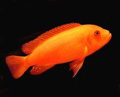 orange african cichlids - Google Search