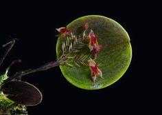 Resultado de imagem para orquídea Lepanthes