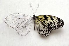 taxidermy butterflies - Google Search