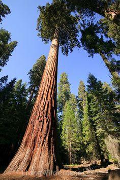 Several giant sequoia trees (Sequoiadendron gigantea) grow in the Mariposa Grove in Yosemite National Park, California.