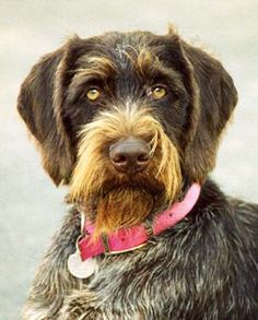 Is the German Wirehaired Pointer a good dog breed for you. Learn about German Wirehaired Pointers then view listings from dog breeders listing their puppies and older dogs available. Pointer Puppies, Dogs And Puppies, Doggies, German Wirehaired Pointer Puppy, I Love Dogs, Cute Dogs, Large Dog Breeds, German Shepherd Dogs, German Shepherds