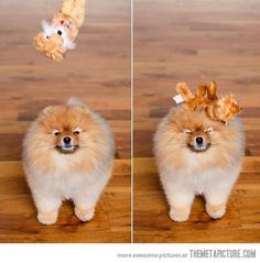 Not an athletic breed... but Pomeranians are super cute! hahahahaha sooo accurate!!