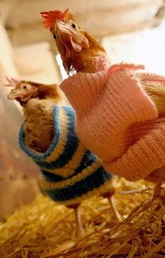Chickens wear Woolly Jumpers knitted by the Somerset Craft Club at the Little Hen Rescue Centre in Norwich, Norfolk. The club meet each month to weave as many Chicken Jumpers as they can