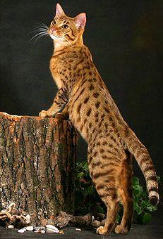 Ocicat – Domestic Ocelot   Cat Breeds And Types Of Cats