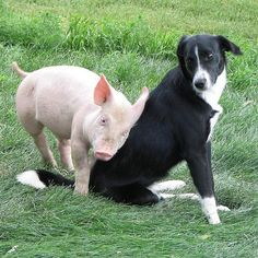 Did you know pigs like to cuddle and show affection? Not too surprising when you consider how intelligent they are!