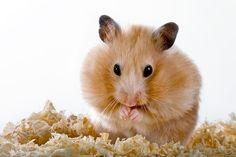 Is Your Hamster Compulsive?
