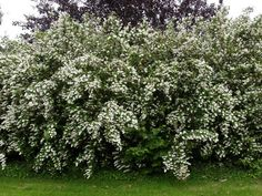 Deciduous shrub or small tree with while panicles of flowers in May and June. Geranium Vivace, Shade Shrubs, Rhododendron, Privacy Landscaping, Evergreen Shrubs, Small Trees, Flora, Live Plants, Hibiscus