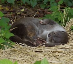 Otter Stirs from Her Nap Long Enough to Wave HelloMore at today's Daily Otter post! Scary Animals, Animals And Pets, Cute Animals, Otter Love, Sea Creatures, Lovely Creatures, Baby Otters, Dachshund Puppies, Sea Otter