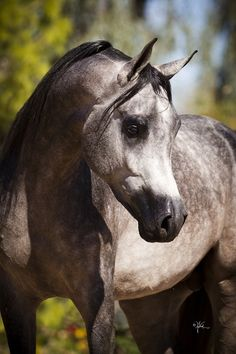 Arabian horse Egyptian show performance native costume stallion breeding stud
