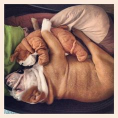 I have the same stuffed dog and my puppy sleep with it too! Love my bulldogs :)