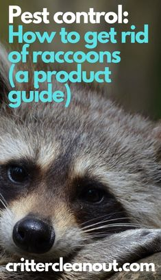 Pest control: How to get rid of raccoons (a product guide) - Critter clean out Bug Control, Pest Control, Raccoon Repellent, Getting Rid Of Raccoons, Household Pests, Pest Management, Beneficial Insects, How To Get Rid, Fleas