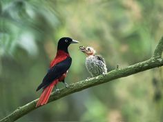 oriole bird | latest images of maroon oriole birds poster