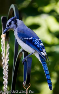 Eastern blue jay [Here in northern Michigan, the blue jays are permanment neighbors, living in our woods.  They make many different noises, including whilstles and an alarm call that warns all the other birds that danger is near.  They are beautiful as well as smart.]