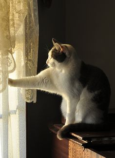 Such a sweet kitty cat! Having been looking out the window draped in lace panels for a long time now, the kitty reaches out and dares to touch the window. Perhaps the pretty cat thinks that a touch will bring the two worlds together. I Love Cats, Cute Cats, Funny Cats, Beautiful Cats, Animals Beautiful, Cute Animals, Beautiful Morning, Crazy Cat Lady, Crazy Cats