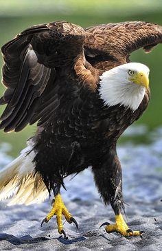 Bald Eagle. El Águila Calva es el Ave Nacional de Estados Unidos desde 1782. SB                                                                                                                                                                                 Más