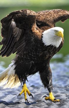 Hopping Eagle. American Bald Eagle art portraits, photographs, information and just plain fun. Also see how artist Kline draws his animal art from only words at drawDOGS.com