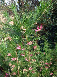 Grevillea 'Canberra Gem' – growing in Lady Baillie Mediterranean Garden #garden #gardening #flowers #winter #bloom #English Garden