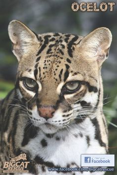 Purrfection (Ocelot)  ... gorgeous kitty