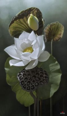 indigodreams:  flowersgardenlove: Lotus | Duong Quoc D Beautiful gorgeous pretty flowers