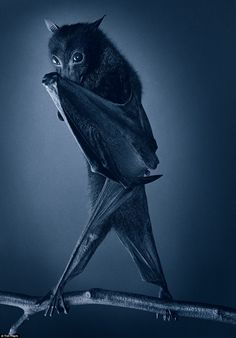 A bat looks almost shy as it covers its face from the camera - Photography by the amazing Tim Flach