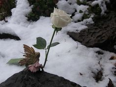 Catherine Denton: Fairy Sightings: Snowfall And Roses - 600x450 - jpeg