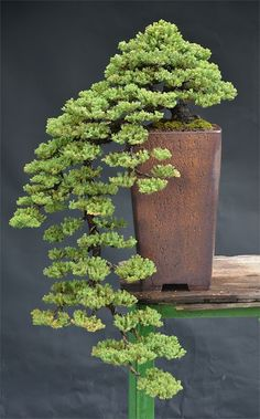 Flowering bonsai plants can be developed from seed or cuttings or also from young trees. Flowering bonsai plants require feeding, watering pruning and training. Planting Flowers, Plants, Bonsai Plants, Ikebana, Zen Garden, Japanese Garden, Houseplants, Small Trees, Miniature Trees