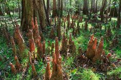 Congaree National Park  | Congaree National Park Photo - Bald Cypress Knees