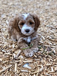 Red and white Australian Labradoodle Puppy New Puppy, Puppy Love, Miniature Australian Labradoodle, White Labradoodle, Labradoodles, Doggies, Montana, Cute Dogs, Dog Cat