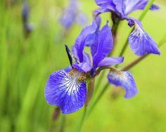 Anna Matveeva Photograph - Beautiful Flower Iris by Anna Matveeva #AnnaMatveeva #Iris #blu #spring #FineArtPhotography #ArtForHome #Flowers