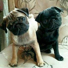 """""""It's OK humans, you made it to the weekend."""" www.jointhepugs.com"""