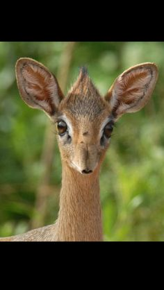 It's a baby Dik Dik... how adorable!