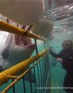 Great White Shark attacking the cage with diver inside