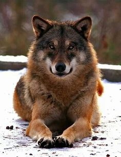 Great color fur and eyes, wish he could be my guard wolf. Wolf Photos, Wolf Pictures, Animal Pictures, Wolf Spirit, My Spirit Animal, Beautiful Creatures, Animals Beautiful, Tier Wolf, Animals And Pets