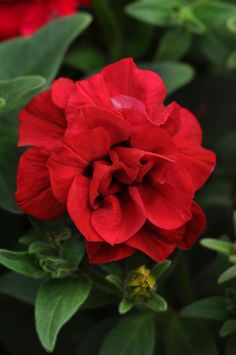 Trailing Petunia 'Double Wave Red'