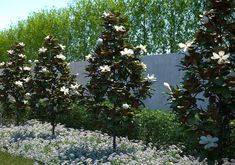 The Little Gem Magnolia Tree is a dwarf version of the Southern Magnolia. This compact tree boasts fabulous fragrant flowers from spring through summer. Dwarf Magnolia Tree, Magnolia Tree Types, Little Gem Magnolia Tree, Magnolia Grandiflora Little Gem, White Magnolia Tree, Magnolia Trees, Magnolia Flower, Deciduous Trees, Flowering Trees